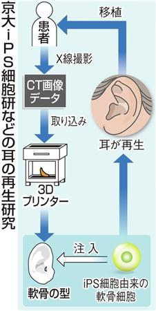京大iPS細胞研などの耳の再生研究