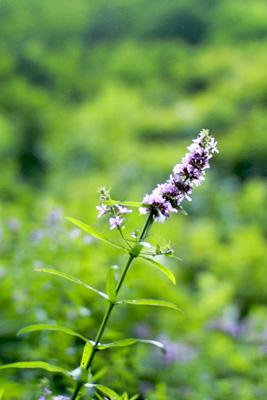 暗門第三の滝の脇に咲いていて花