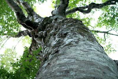 ローアングルからのマザーツリー