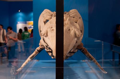 イルカの正面からの骨格